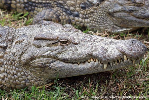 O DNA mostrou que o crocodilo do Nilo é de fato duas espécies muito diferentes: um grande crocodilo, mais agressivo e um menor, uma espécie […]